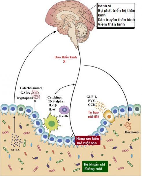 Tác động của stress tới đường ruột và hệ khuẩn chí đường ruột 1