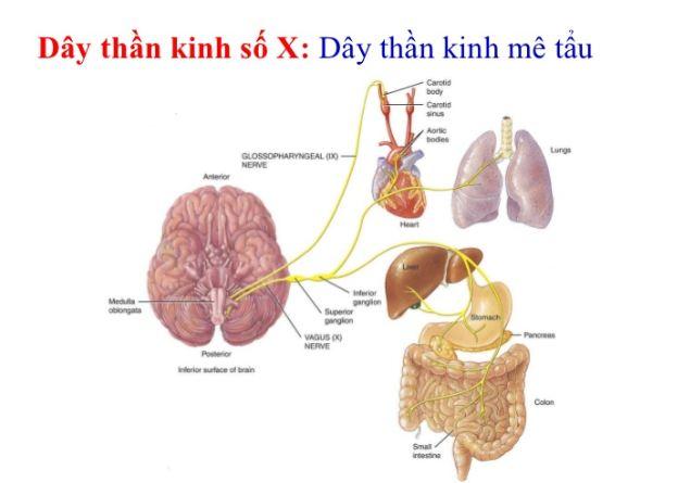Liên kết giữa não bộ và đường ruột 1